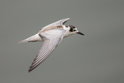 First winter White-winged Tern at Sungei Serangoon. Photo Credit: Francis Yap