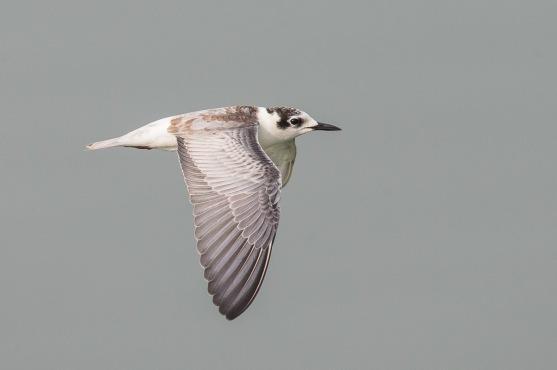 First winter White-winged Tern at Sungei Serangoon. Photo Credit: Francis Yap