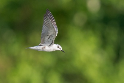 Non-breeding White-winged Tern at Sungei Serangoon. Photo Credit: Francis Yap