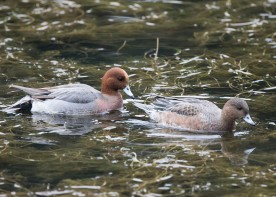 Eurasian Wigeon (pair) at Tokyo Imperial Garden. Photo credit: See Toh Yew Wai