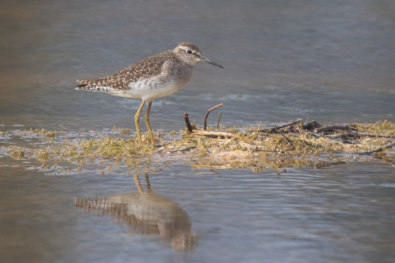 Wood Sandpiper at Punggol Barat. Photo Credit: Francis Yap