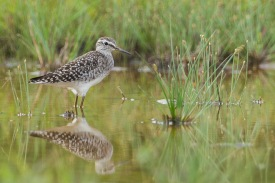 Wood Sandpiper at Jurong West. Photo Credit: Francis Yap