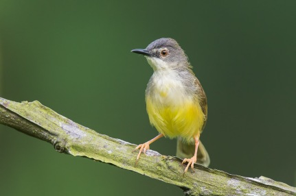 Yellow-bellied Prinia at Lorong Halus. Photo Credit: Francis Yap