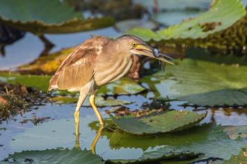 Yellow Bittern at Satay by the Bay. Photo credit: Adrian Silas Tay
