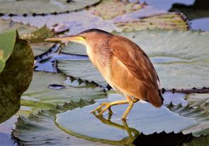 Yellow Bittern at Satay by the Bay. Photo credit: Alvin Seng