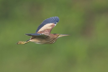 Male Yellow Bittern at West Camp Rd. Photo Credit: Francis Yap