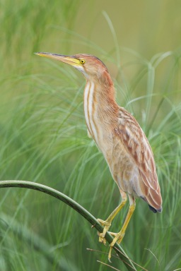 Juvenile Yellow Bittern at Sengkang. Photo Credit: Francis Yap