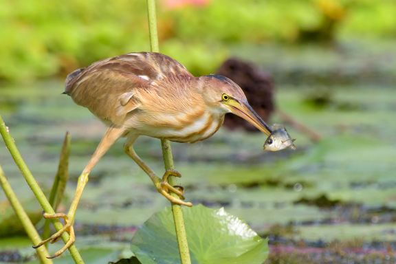 Yellow Bittern at Satay by the Bay. Photo credit: Goh Cheng Teng