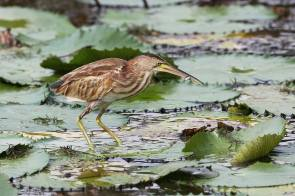 Yellow Bittern at Satay by the Bay. Photo credit: Myron Tay