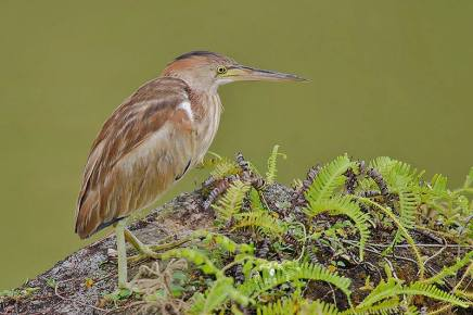 Yellow Bittern at Japanese Garden. Photo credit: Rey Aguila