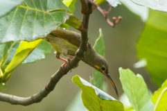Yellow-eared Spiderhunter at Dillenia Hut. Photo Credit: Francis Yap