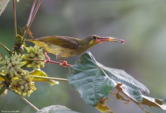 Yellow-eared Spiderhunter from Panti Bird Sanctuary. Photo credit: Lawrence Neo
