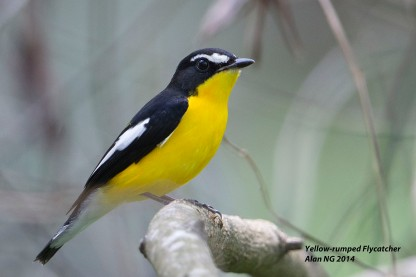 Male Yellow-rumped Flycatcher at Bidadari. Photo credit: Alan Ng