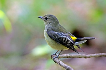 Female Yellow-rumped Flycatcher at Bidadari. Photo credit: Alan Ng