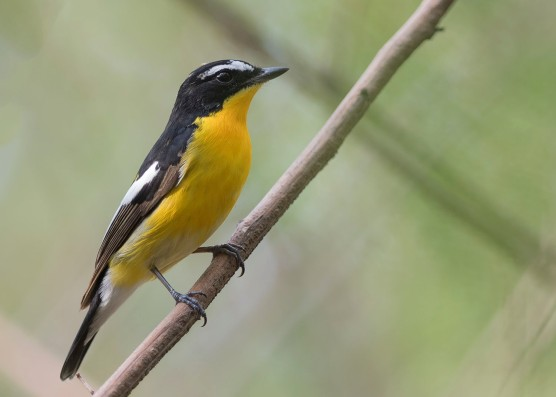 Male Yellow-rumped Flycatcher at Tuas South. Photo credit: See Toh Yew Wai