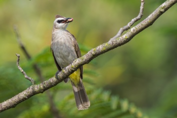 Yellow-vented Bulbul at Chinese Garden. Photo credit: Francis Yap