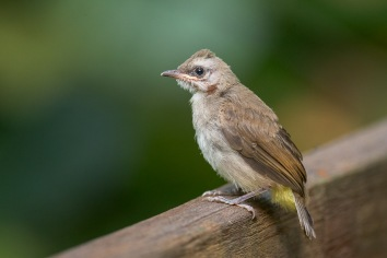 Juvenile Yellow-vented Bulbul at Hindhede Nature Park. Photo credit: Francis Yap