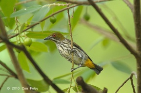 Yellow-vented Flowerpecker from Panti Bird Sanctuary. Photo credit: Con Foley