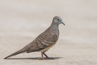 Zebra Dove at Satay by the Bay. Photo Credit: Francis Yap