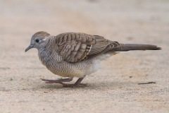 Zebra Dove at Pasir Ris Park. Photo Credit: Francis Yap