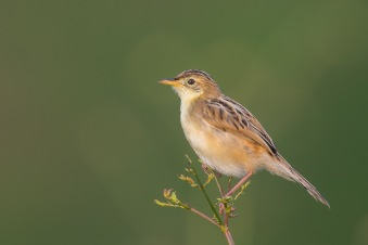 Zitting Cisticola at Punggol Barat. Photo Credit: Francis Yap