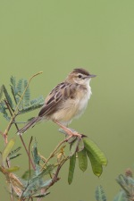 Zitting Cisticola at Jurong West. Photo Credit: Francis Yap