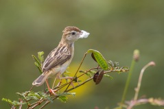 Zitting Cisticola at Tuas Grassland. Photo Credit: Francis Yap