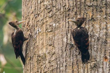 A pair of Orange-backed Woodpeckers at Panti Forest. Photo Credit: Francis Yap