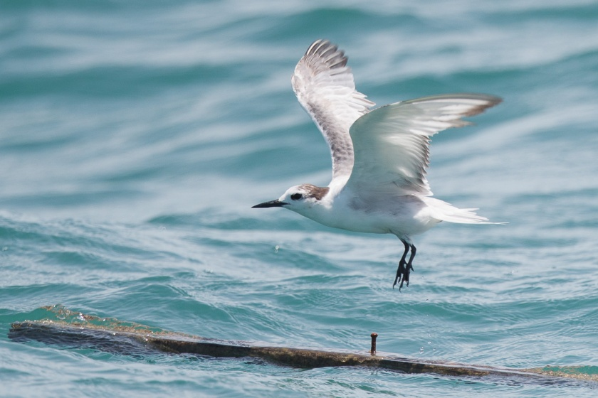 Aleutian Tern at Singapore Strait on a wooden plank, taking flight.