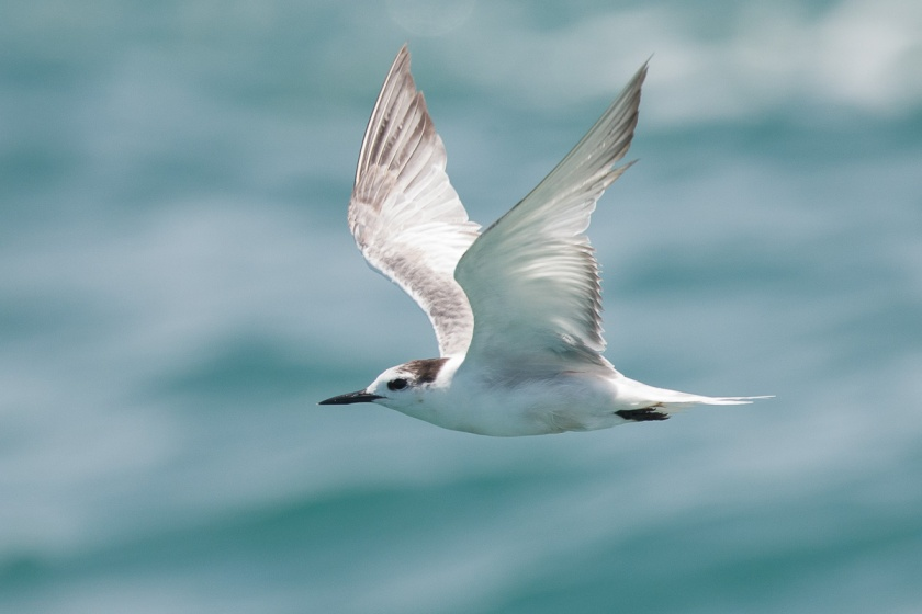 Aleutian Tern at Singapore Strait. In flight and close by.