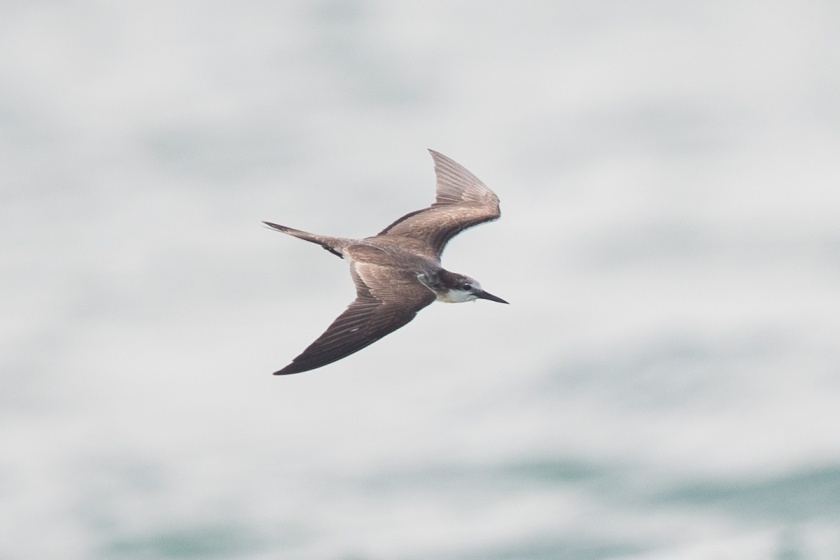 Bridled Tern at Singapore Strait. It was diving for food.