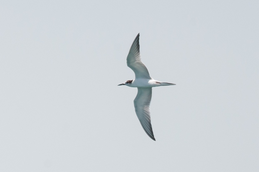 Common Tern at Singapore Strait