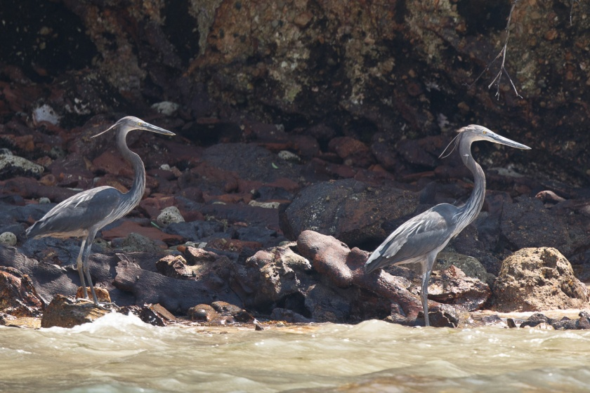 A pair of Great-billed Herons in breeding plumage at Pulau Jong