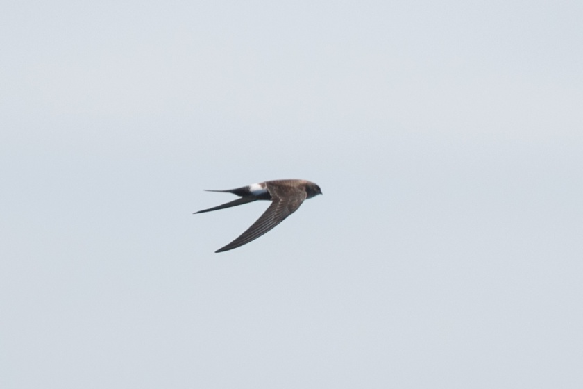 Pacific Swift at Singapore Strait. Flying very low just above sea level.
