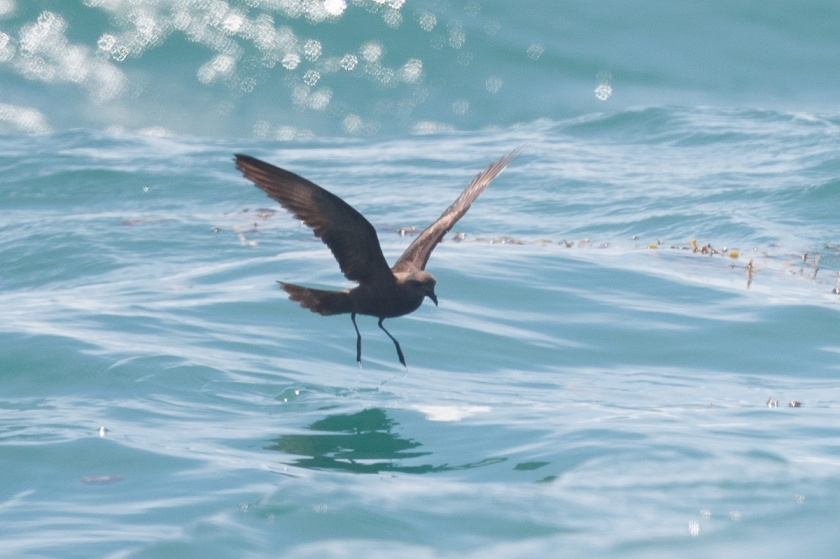 Swinhoe's Storm Petrel at Singapore Strait. Second bird photographed.