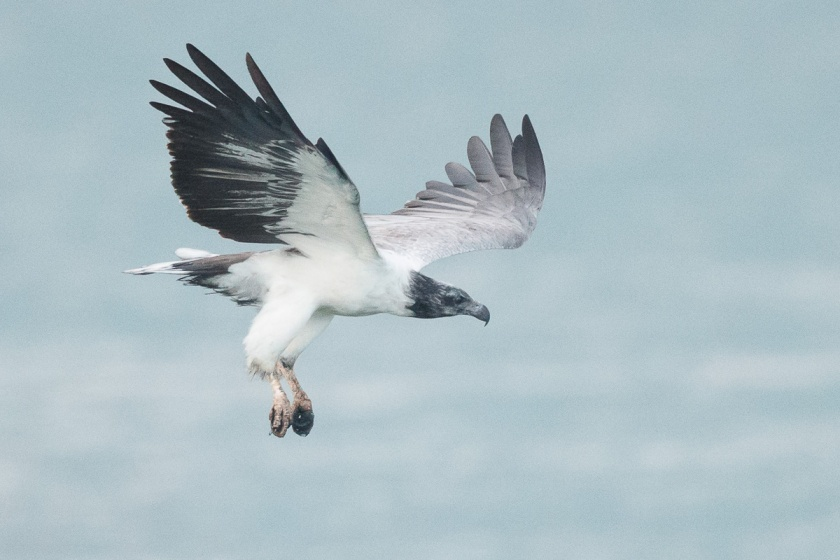White-bellied Sea Eagle at Singapore Strait. This particular bird has blackened head feathers.