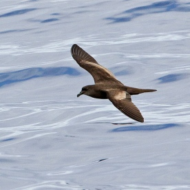 Bulwer's Petrel at Madeira. Photo credit: John Oates