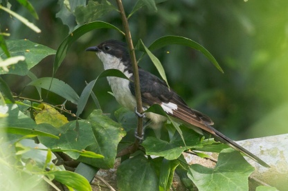 Jacobin Cuckoo at Lorong Halus. Photo credit: Francis Yap