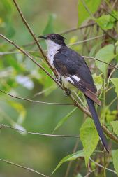 Jacobin Cuckoo. Photo credit: Rey Aguila