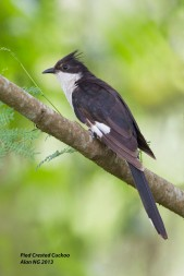 Jacobin Cuckoo at Lorong Halus. Photo credit: Alan Ng