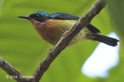 Male Ruby-cheeked Sunbird from Panti. Photo credits: Con Foley.