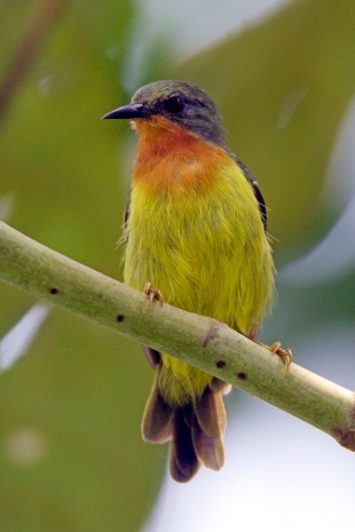 Female Ruby-cheeked Sunbird from Panti. Photo credits: Alan Ng.