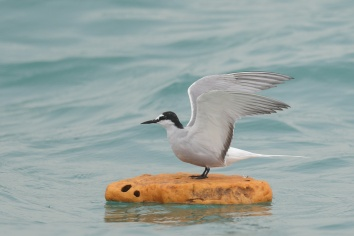 Aleutian Tern at Singapore Strait