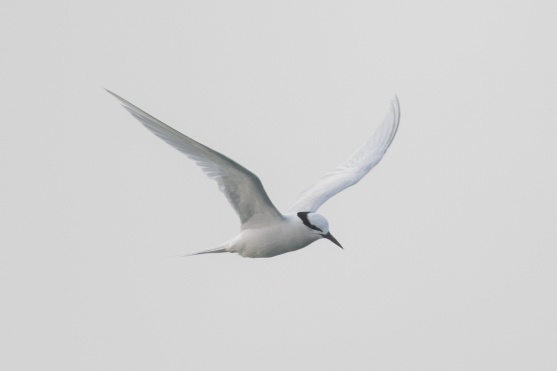 Black-naped Tern at Singapore Strait