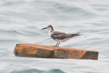 Bridled Tern at Singapore Strait