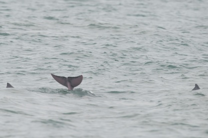 Indo-Pacific Humpback Dolphin at Horsburgh Lighthouse