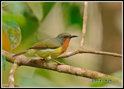 Female Ruby-cheeked Sunbird from Panti. Photo credits: Daniel Koh aka Hiker