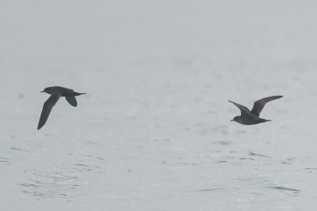 Short-tailed Shearwater at Singapore Strait