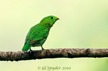 Female Green Broadbill at Panti, Peninsula Malaysia. Photo Credit: Wong Lee Hong