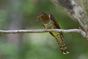 Female hepatic morph Himalayan Cuckoo at Bidadari. Photo Credit: Alan Ng
